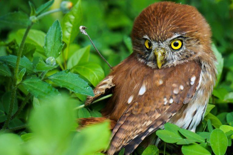 Nombre: Ferruginous-pygmy-owl