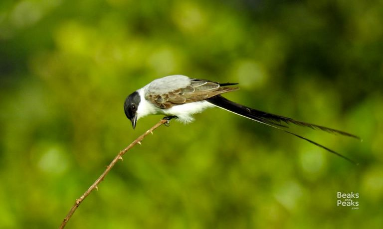 Nombre: Fork-tailed-flycatcher