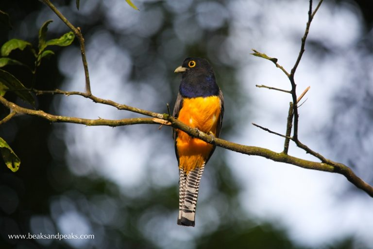 Nombre: Gartered-trogon