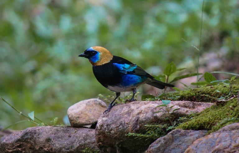 Nombre: Golden-hooded-tanager-tangara-larvata