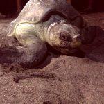 La incansable labor de liberar tortugas golfinas en el Sur de Honduras