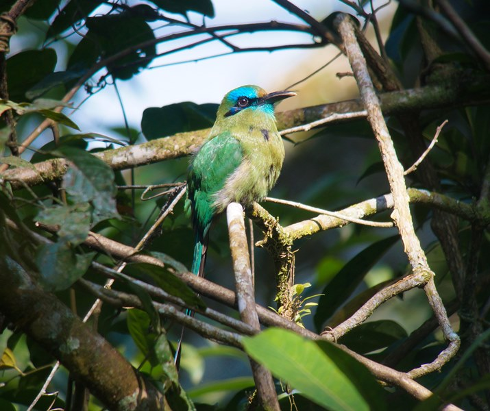 Nombre: Keel-billed-motmot