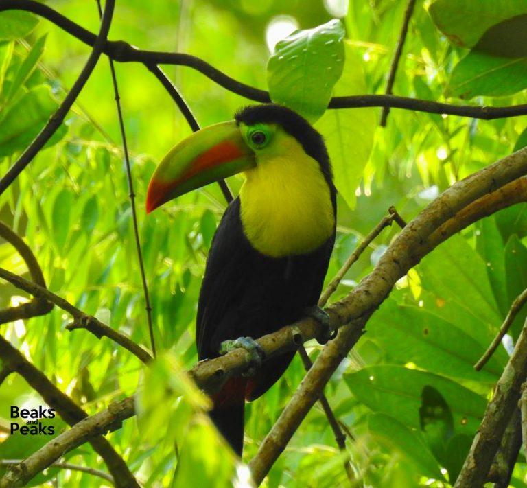 Nombre: keel-billed-Toucan