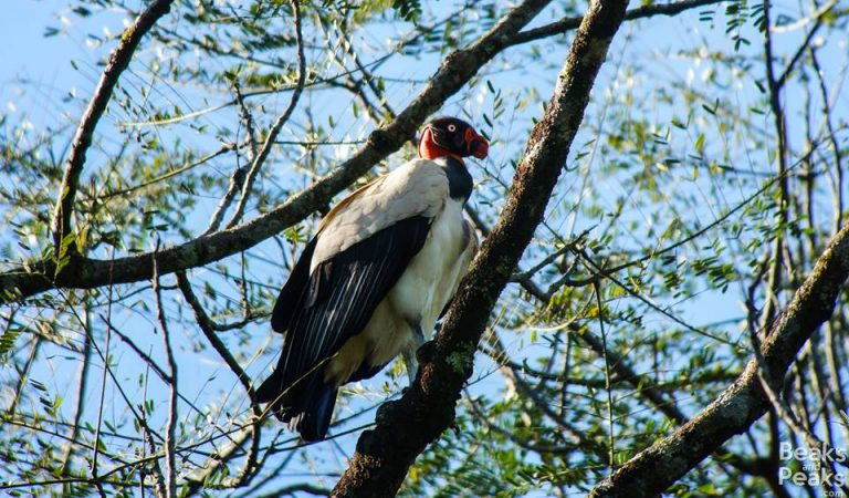 Nombre: king-vulture