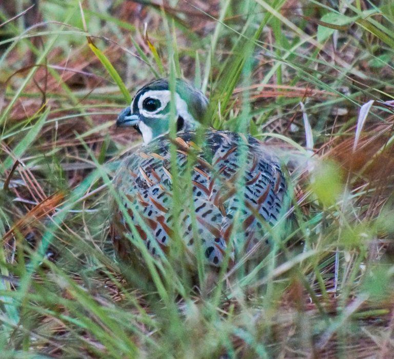 Nombre: Ocellated-quail