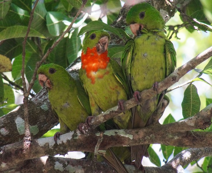 Nombre: Red-throated-parakeet