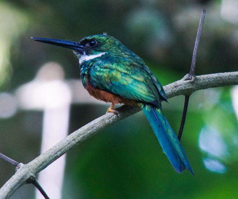 Nombre: Rufous-tailed-jacamar