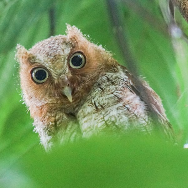 Nombre: vermiculated-screech-owl