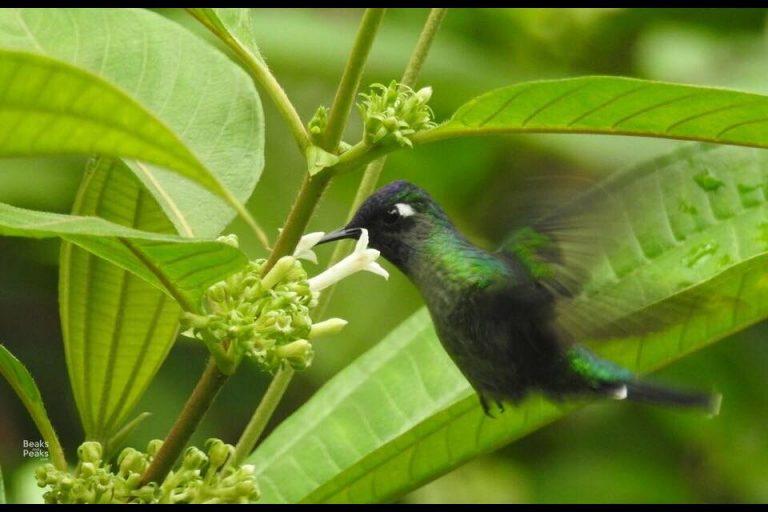 Nombre: violet-headed-hummingbird