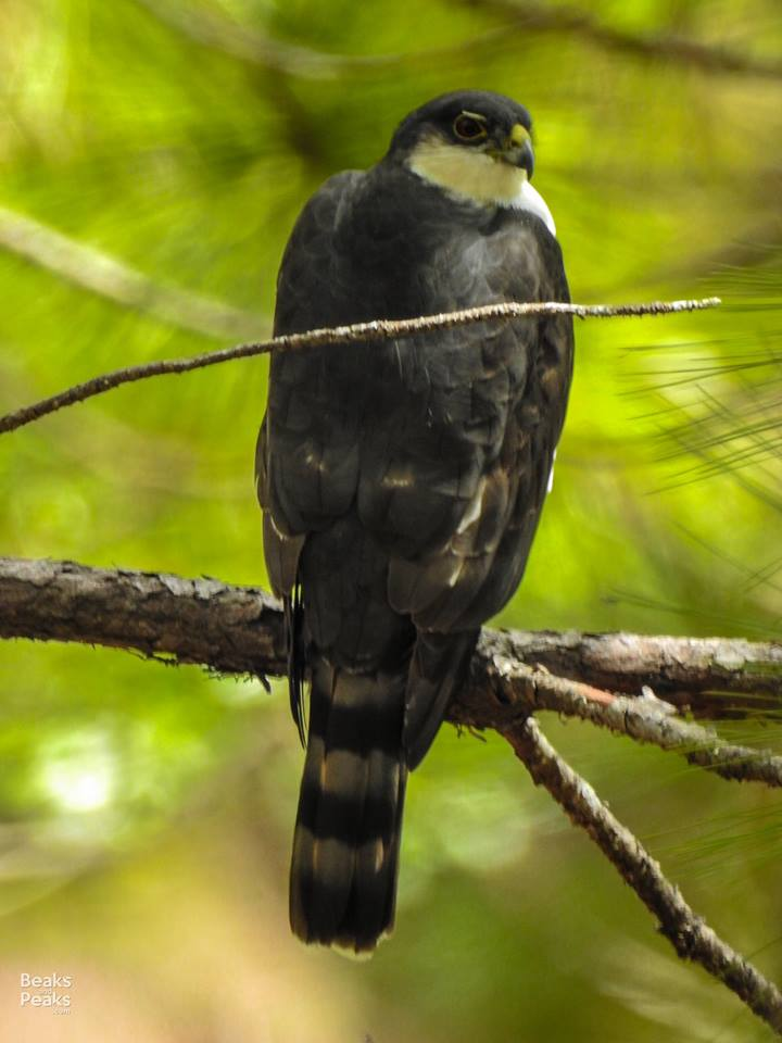 Nombre: white-breasted-hawk