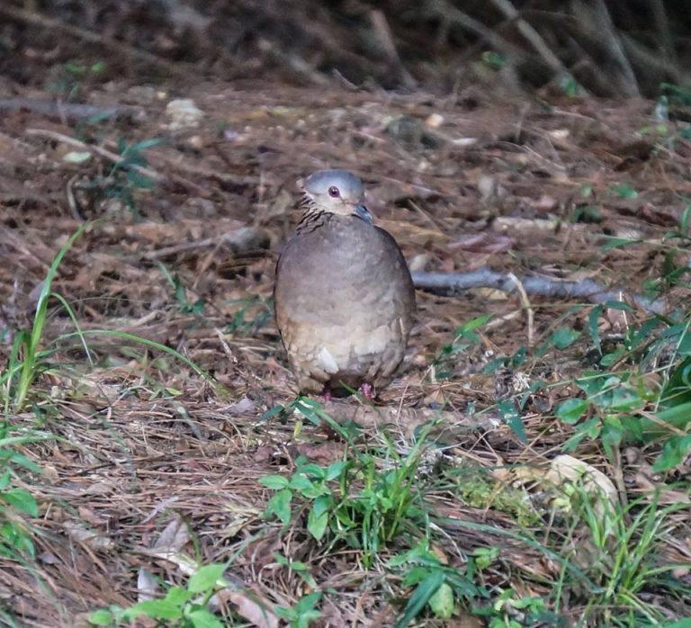Nombre: white-faced-quail-dove