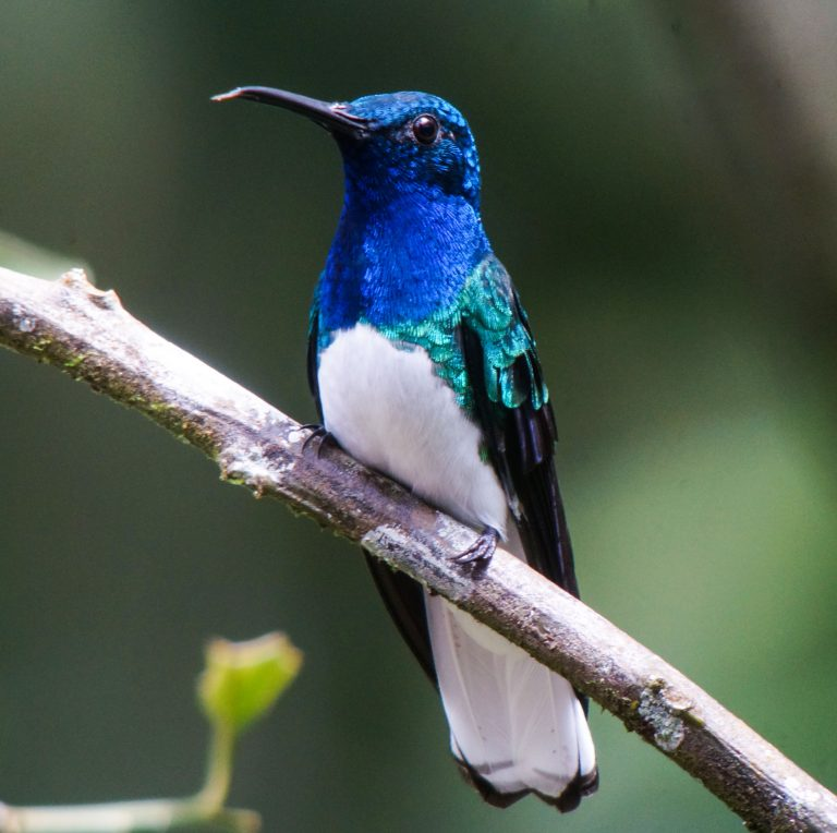 Nombre: white-necked-jacobin
