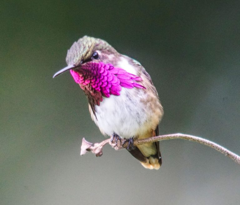 Nombre: wine-throated-hummingbird