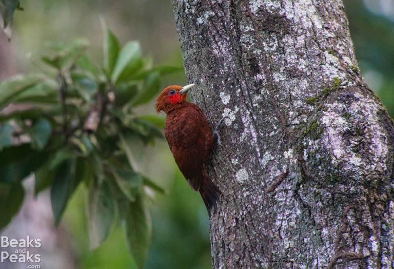 Nombre: Woodpecker