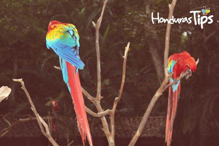 Macaw Mountain es un parque de conservación de la guacamaya roja.