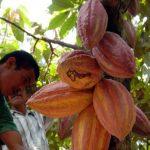 Televisora asiática elige a Honduras para realizar documental sobre Cacao