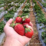 fresas-de-la-esperanza