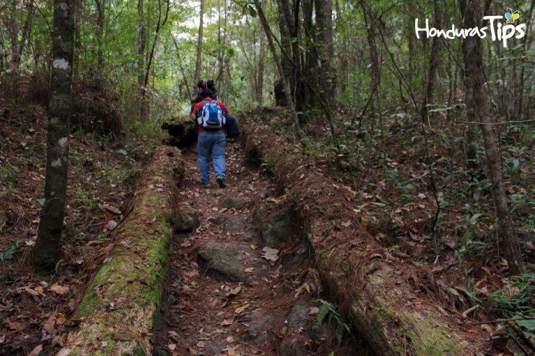 Los árboles se caen de viejos y hacen caminos naturales en el Celaque.