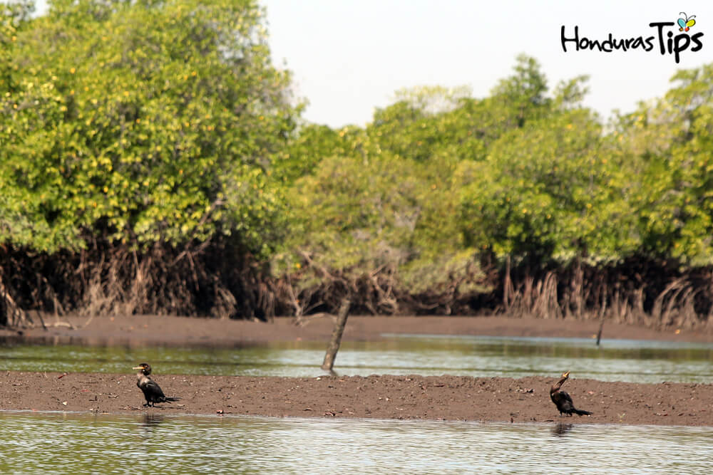 Para llegar a la isla del amor hay que cruzar por los manglares de San Lorenzo.