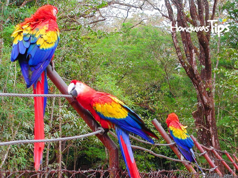 Scarlet Macaws on Fence Copan Ruins Honduras