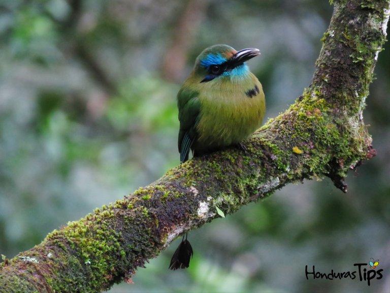 Foto cortesía por Alexander Alvarado Chacon / Honduras Birds.
