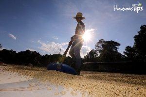 100,000 toneladas de café hondureño comprará Nestlé