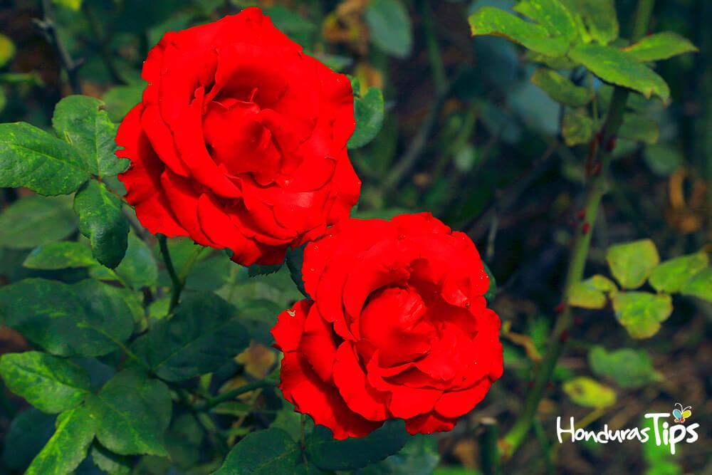 Flores, siguatepeque