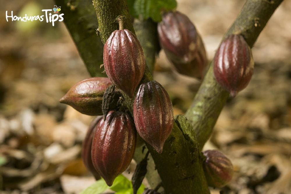 Los mayas utilizaron para varias funciones el cacao.