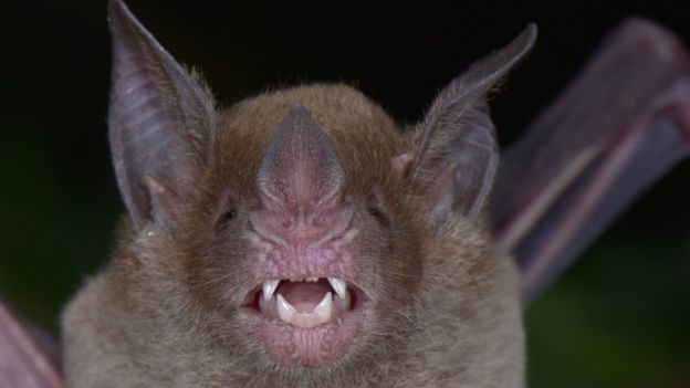 Este murciélago fue una especie rara de encontrar en el mundo.