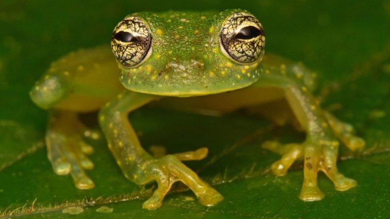La rana de cristal fue una especie que logró asombrar a todos.
