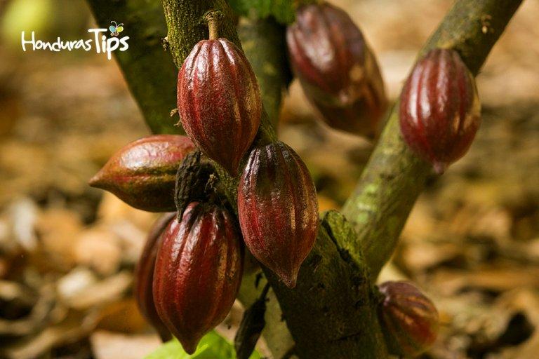 Tour del cacao