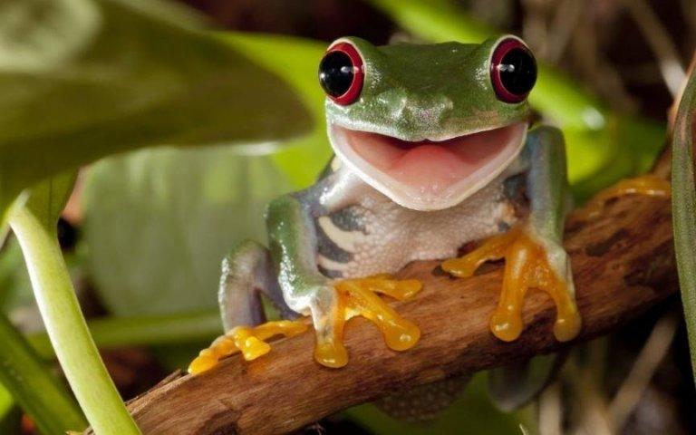 La rana es un anfibio que se analizó en varios sectores de Ciudad Blanca.