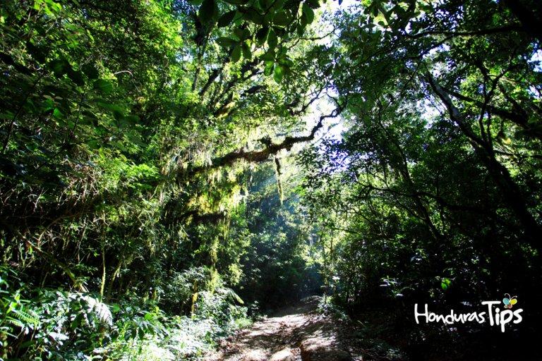 El extenso bosque representa un valioso espacio para el medio ambiente hondureño.