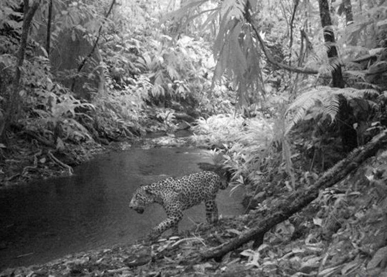 El jaguar es una especie amenazada que habita en Ciudad Blanca.