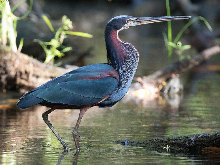 Un Agami Heron, se puede encontrar por lo general en Cuero y Salado.