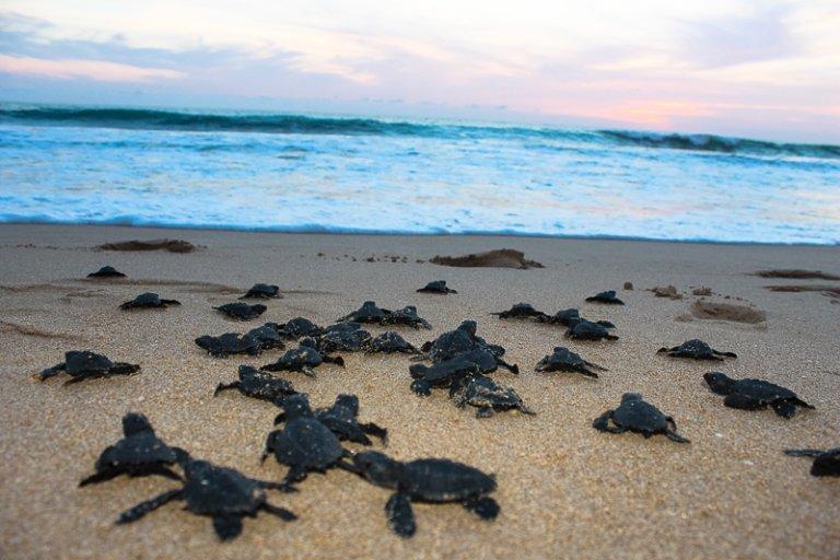 En Honduras nacen miles de tortugas al año, pero aún se encuentran en peligro.