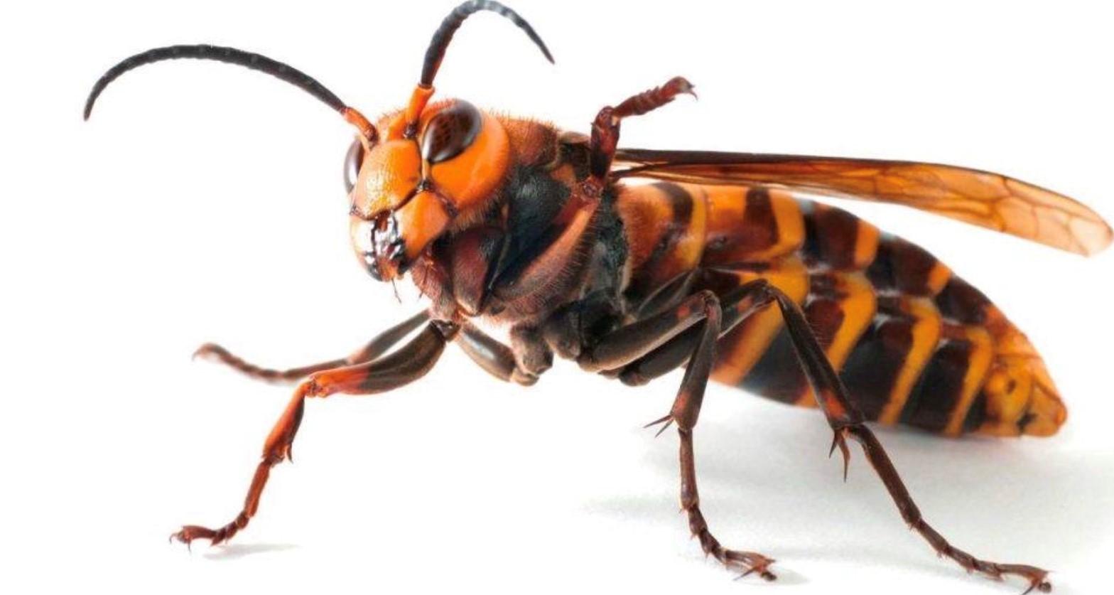 Su tamaño puede ser comparado con el de una cucaracha de agua o un escarabajo.